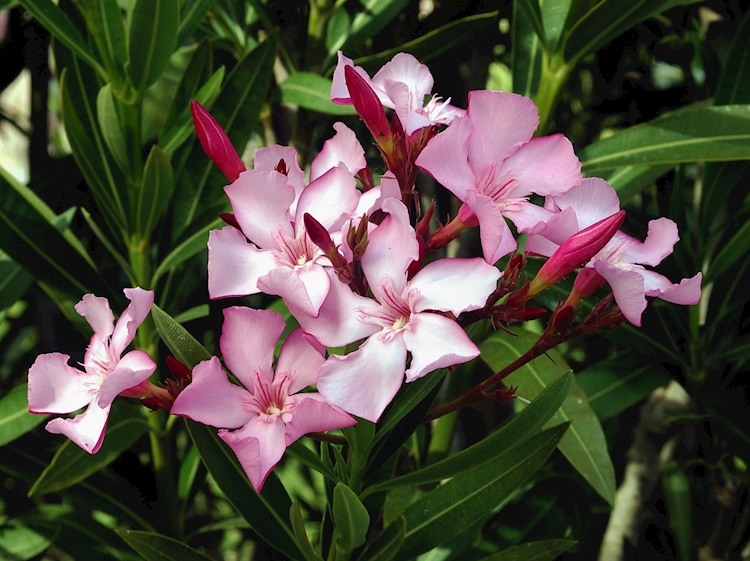 nerium_oleander_official_flower_of_hiroshima_city_japan