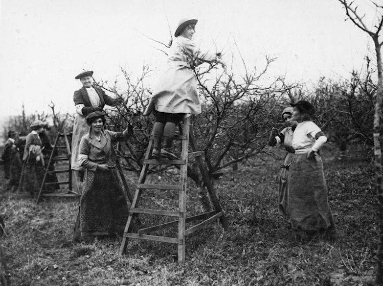 agriculture_in_britain_during_the_first_world_war_womens_land_army_prune_orchard_trees
