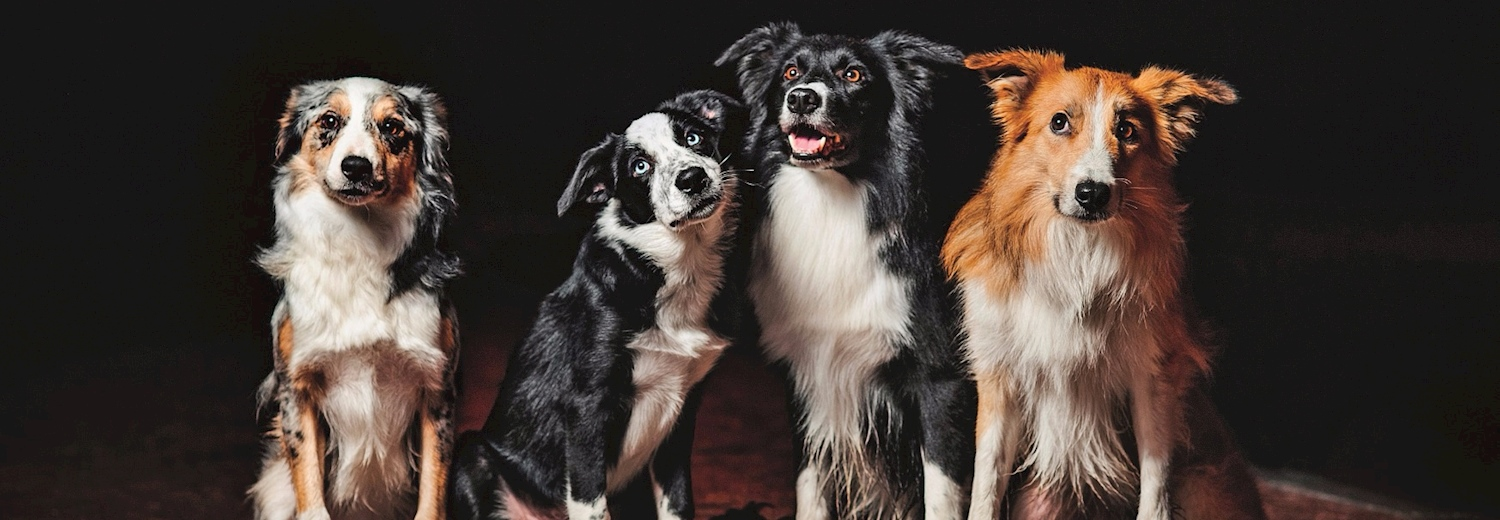 collies_dogs