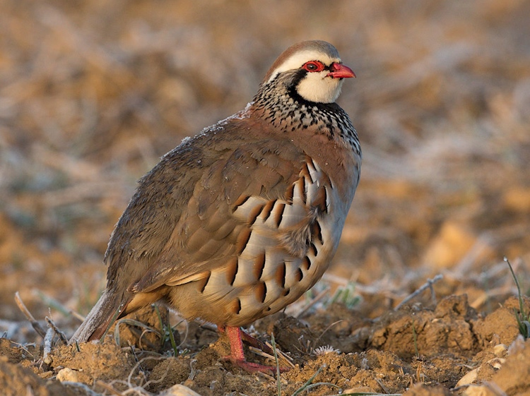 red_legged_partridge_perdrix_rouge