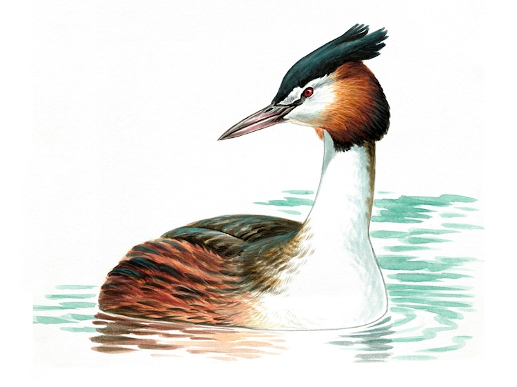 great_crested_grebe_by_mike_langman