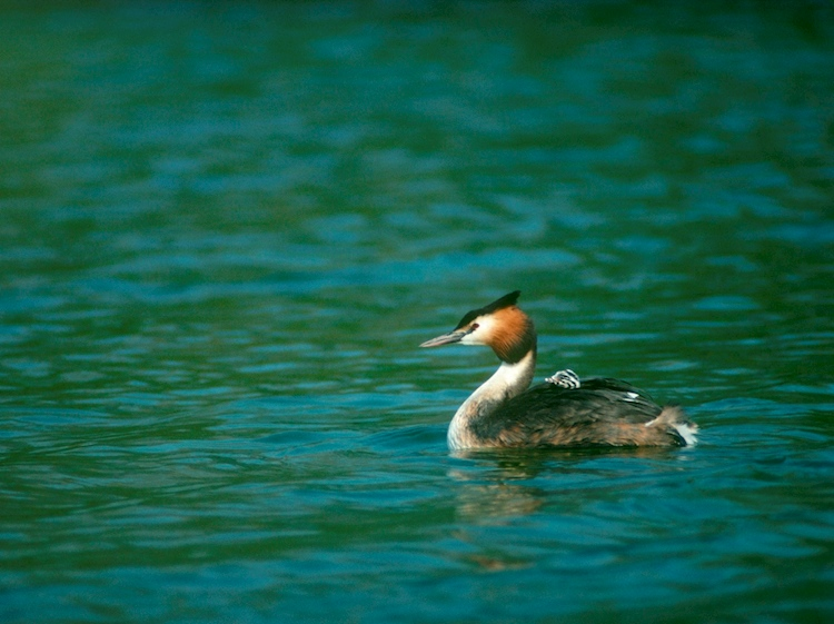great_crested_grebe_adult_swimming_with_chick_on_back_rspb_chris_gomersall