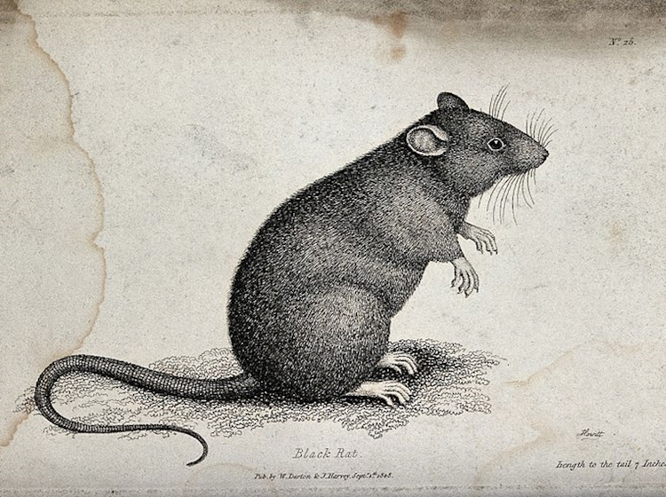 a_black_rat_sitting_upright_on_the_ground_etching_by_w_s_wellcome_v0020711
