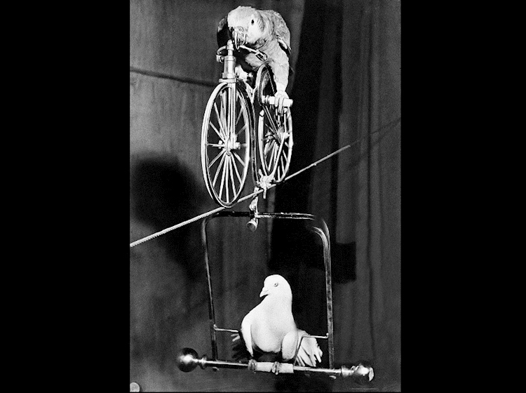 lorchen_the_parrot_bicycle_highwire_1952