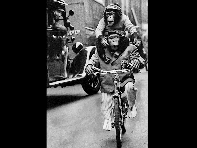 marquis_the_chimpanzee_on_bike