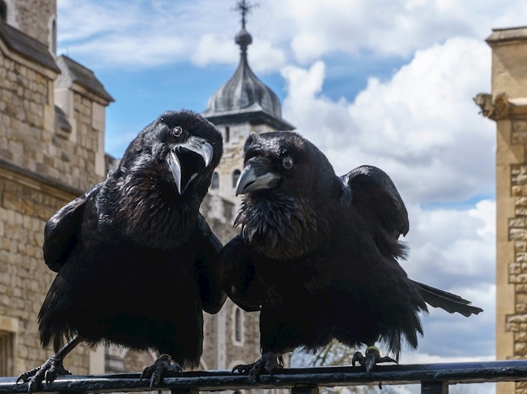 ravens_tower_of_london