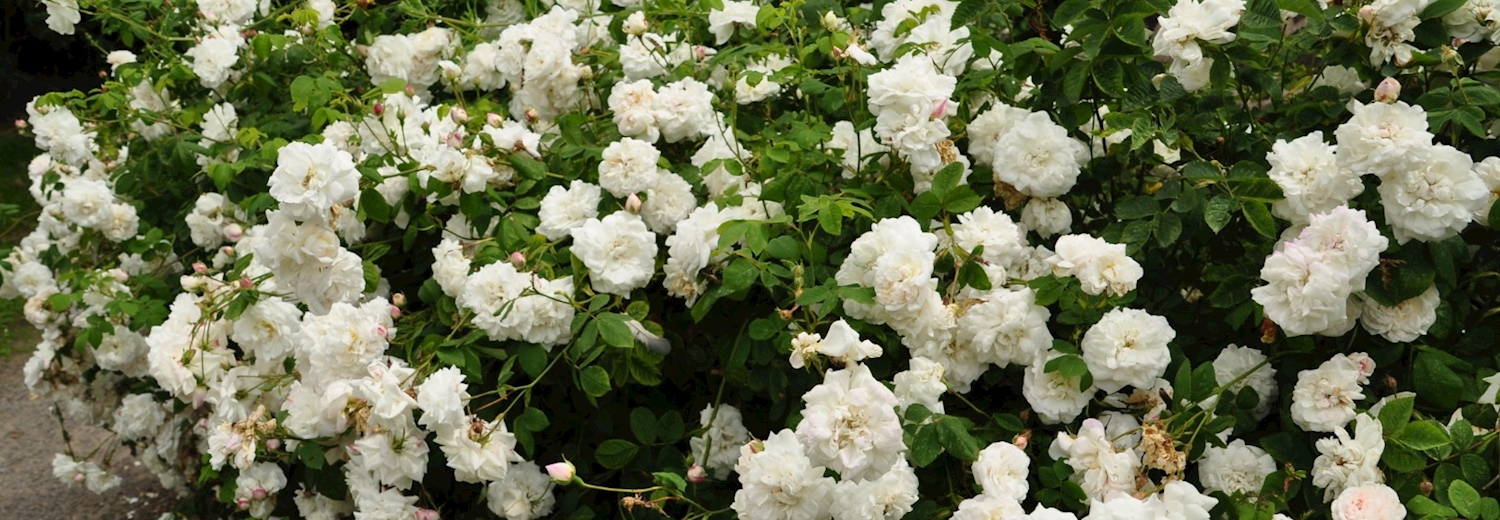 white_roses_at_bosworth_battlefield
